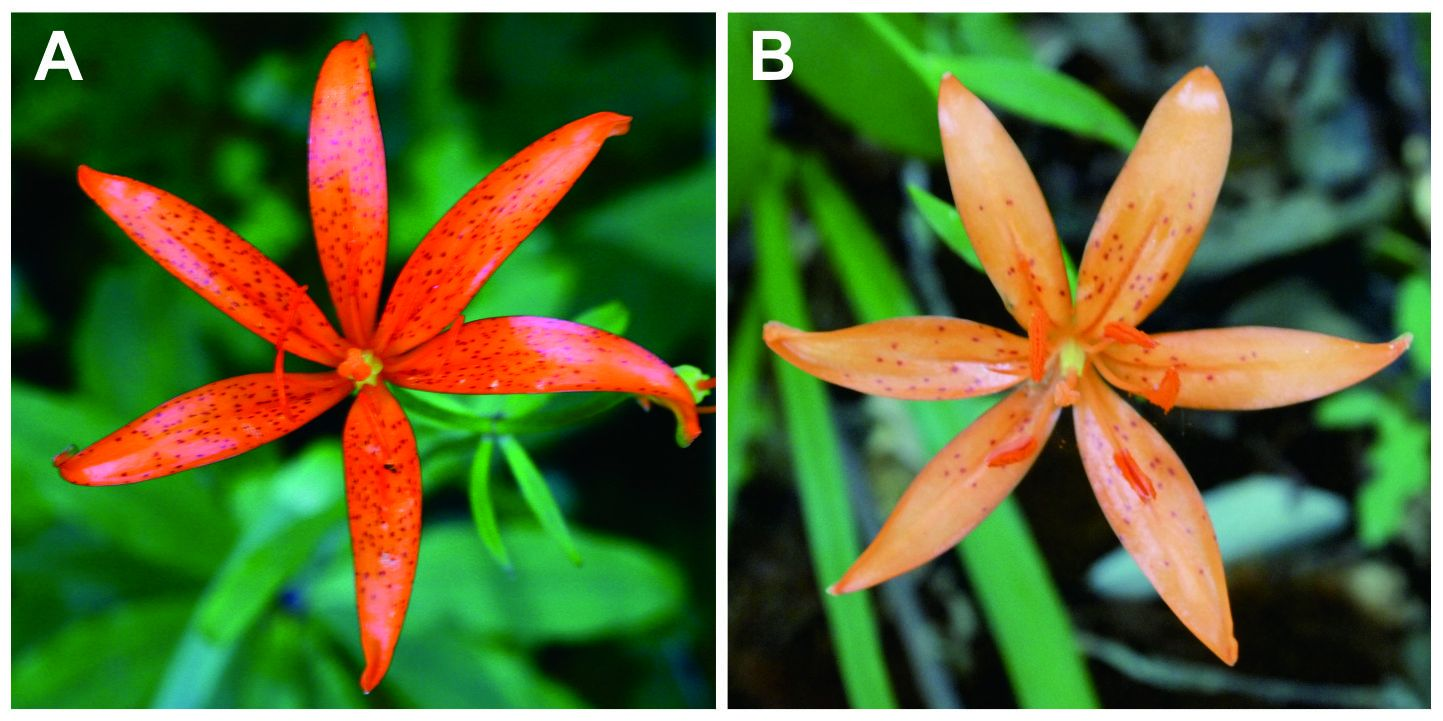 Variation of flower colour and spots in L. tsingtauense: A) orange color with many spots; B) few spots with light orange  flower (mutant type